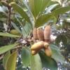 ゼロエミ式キノコ栽培マテバシイ